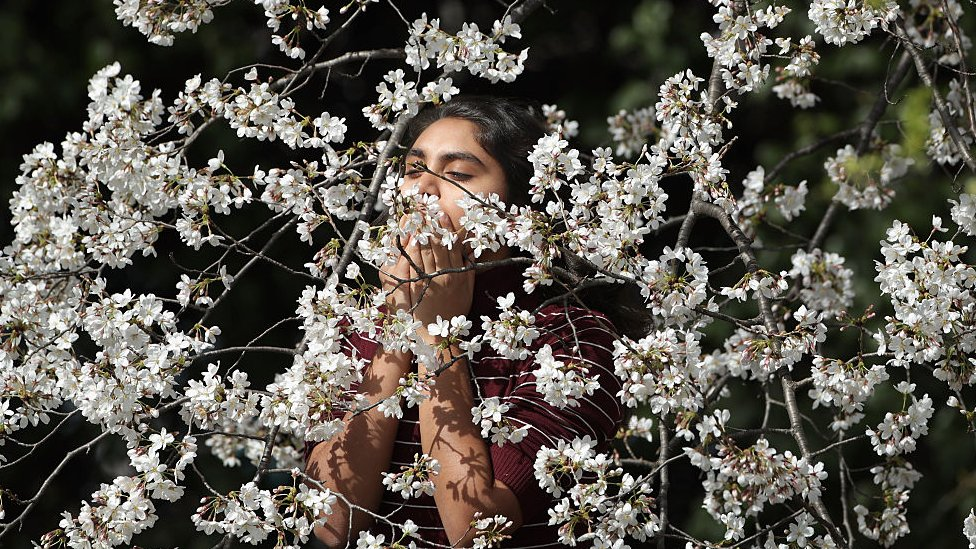 Blossom on cherry trees